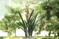 cymbidium sinense plant M3