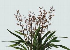 cymbidium sinense plant M2