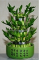 Wholesale lucky bamboo--Tower bamboo