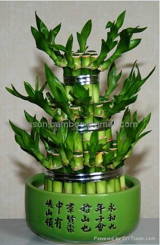 Wholesale lucky bamboo--Tower bamboo 1