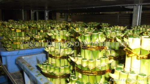 Wholesale lucky bamboo--Tower bamboo 3