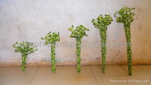 Wholesale lucky bamboo--Spiral bamboo 1