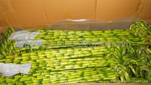 Wholesale lucky bamboo--Spiral bamboo 5