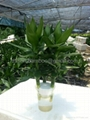 Wholesale Lucky Bamboo -- Lotus Bamboo