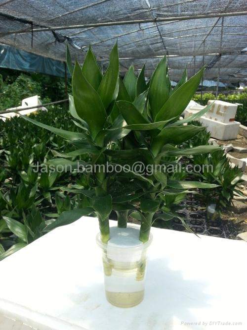 Wholesale Lucky Bamboo -- Lotus Bamboo 1