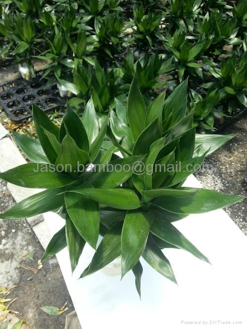 Wholesale Lucky Bamboo -- Lotus Bamboo 2