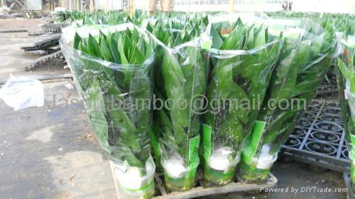 Wholesale Lucky Bamboo -- Lotus Bamboo 3