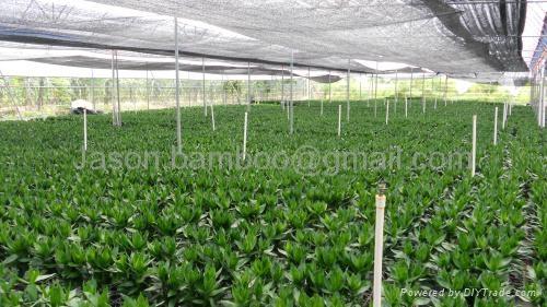 Wholesale Lucky Bamboo -- Lotus Bamboo 4
