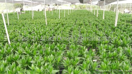 Wholesale Lucky Bamboo -- Lotus Bamboo 5