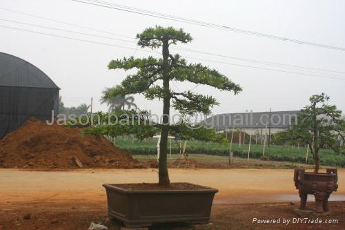 Podocarpus-- Single Bonsai 1