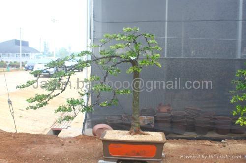 Podocarpus-- Single Bonsai 2