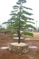 Podocarpus-- Single Bonsai 3