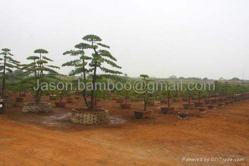 Podocarpus-- Single Bonsai 4