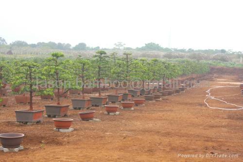 Podocarpus-- Single Bonsai 5