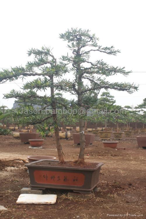 Podocarpus -- Double Canes 1