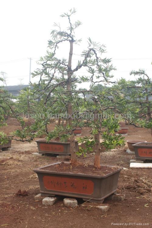 Podocarpus -- Double Canes 2
