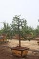 Podocarpus -- Double Canes 3