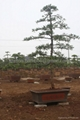Podocarpus -- Double Canes 4