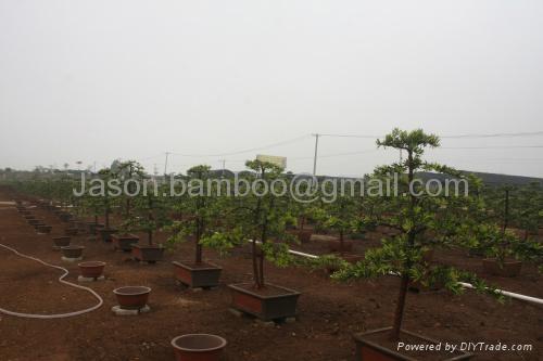 Podocarpus -- Double Canes 5
