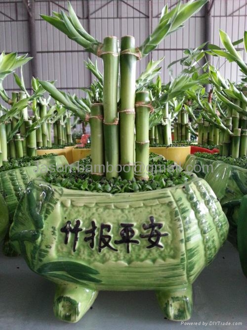 Lucky Bamboo Combination 4