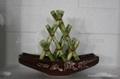 Lucky Bamboo -- Pyramid