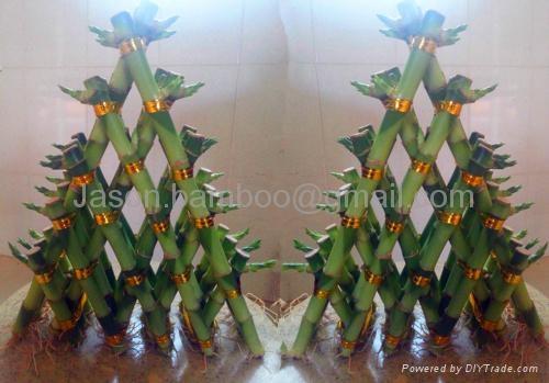 Lucky Bamboo -- Pyramid  3