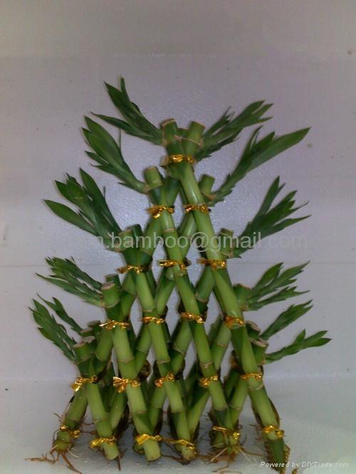 富贵竹,发财树,罗汉松--金字塔造型