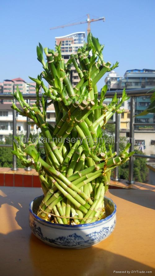 Lucky Bamboo、Dragon Tower 1