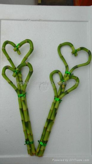 lucky bamboo 、Heart Shape 1