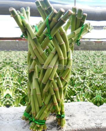 Lucky bamboo  Medium Braid  1