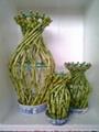 Lucky bamboo Vase 3