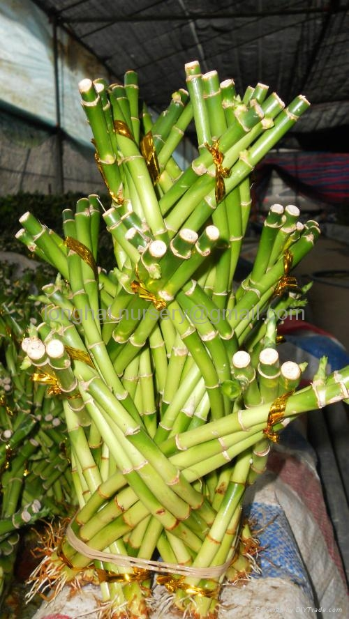 Lucky Bamboo、Dragon Tower 4
