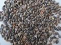 Raw buckwheat 5
