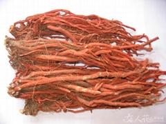 Salvia Multiorrhiza,Danshen,Red sage