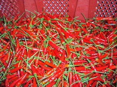 SELL FRESH SMALL RED CHILLI