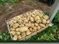 大棚土豆 3