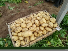 中國大棚土豆