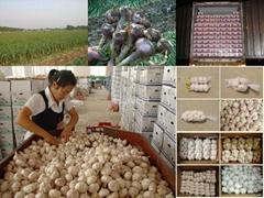 Supply fresh garlic of 2014 Crop.