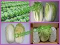 We supply fresh Chinese Cabbage 1