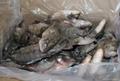 frozen tilapia wr chopa wr chinese origin 2
