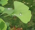 Organic Ginkgo biloba leaf