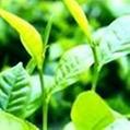 綠茶提取物 1