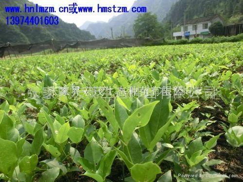 红豆树苗 1