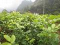 红豆树苗 2
