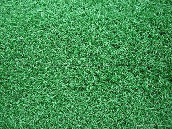高尔夫果岭草坪草皮 2