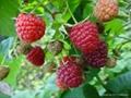 供大果雙季樹莓苗