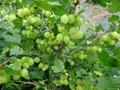 供大果雙季樹莓苗 2
