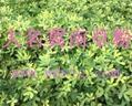 兔用花生秧草粉