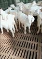 养羊板 3