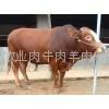 山东鲁西黄牛
